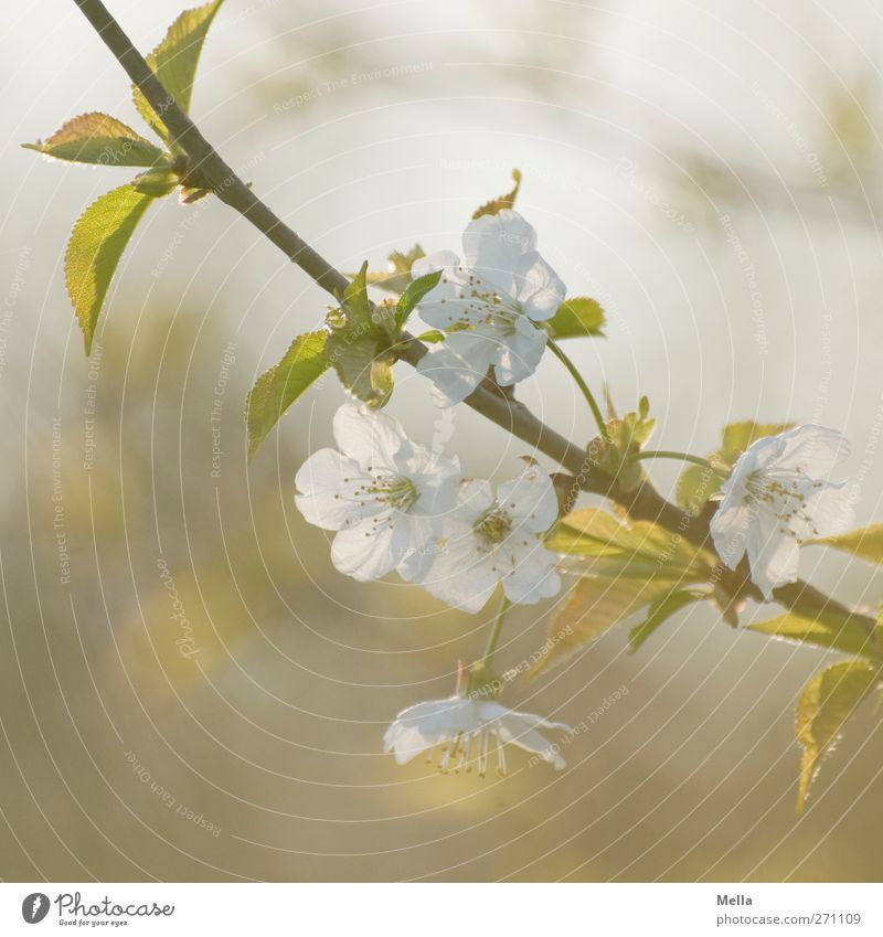 6 o'clock in the evening Environment Nature Plant Spring Tree Blossom Branch Twig Cherry blossom Blossoming Growth Fragrance Beautiful Natural Soft Kitsch
