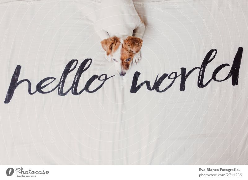 cute small dog lying white sheet with hello world message Dog White House (Residential Structure) Relaxation Animal Joy Face Love Funny Small Earth Office