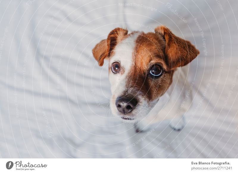 close up portrait of a cute small dog sitting on bed Dog White House (Residential Structure) Relaxation Animal Joy Face Love Funny Small Earth Office Elegant