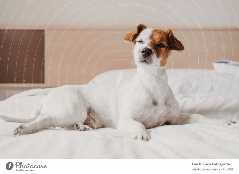 cute small dog lying on bed. Pets indoors. Relax Dog White House (Residential Structure) Relaxation Animal Joy Face Love Funny Small Office Elegant Cute Sleep