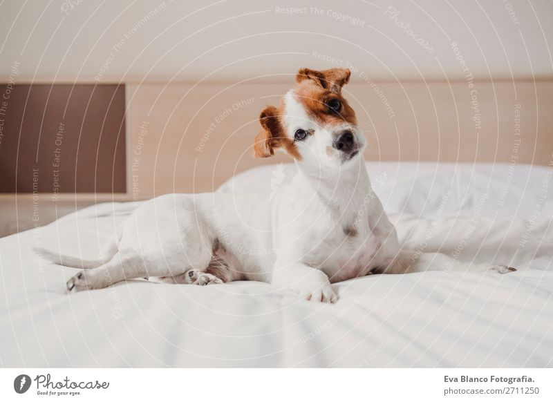 cute small dog lying on bed. Pets indoors. Relax concept Elegant Joy Face Relaxation House (Residential Structure) Office Animal Accessory Dog Love Sleep Small