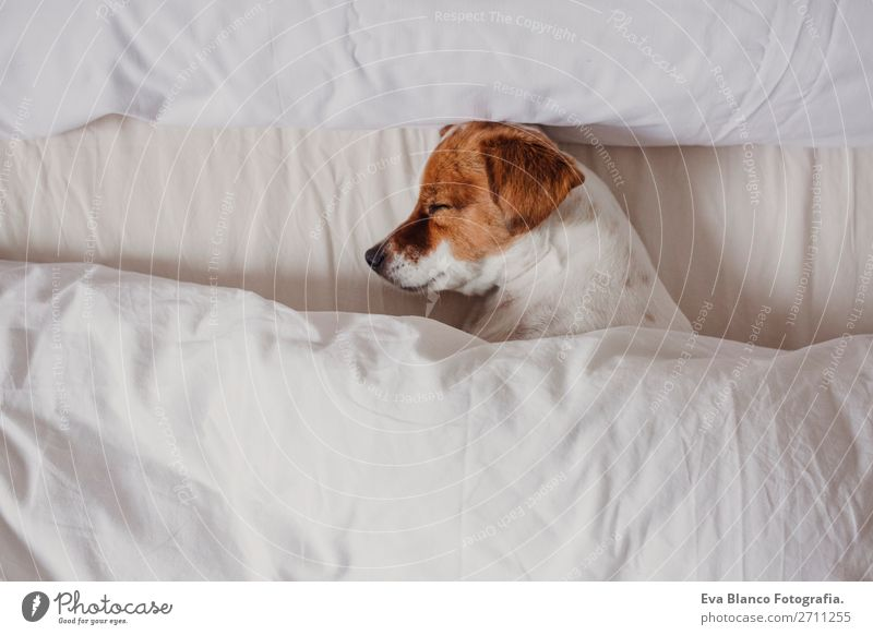 cute tender white and brown jack russell sleeping on a bed Happy Illness Life Relaxation Winter House (Residential Structure) Bedroom Family & Relations Animal