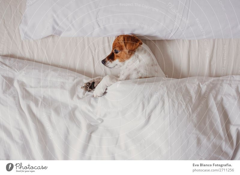 cute dog sleeping on bed with white sheets Dog White House (Residential Structure) Relaxation Animal Winter Life Autumn Warmth Love Funny Family & Relations