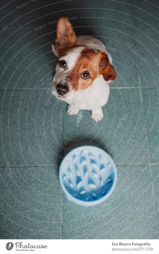 cute small dog sitting and waiting to eat Eating Breakfast Lunch Dinner Diet Bowl Lifestyle House (Residential Structure) School Animal Pet Dog Feeding Sit