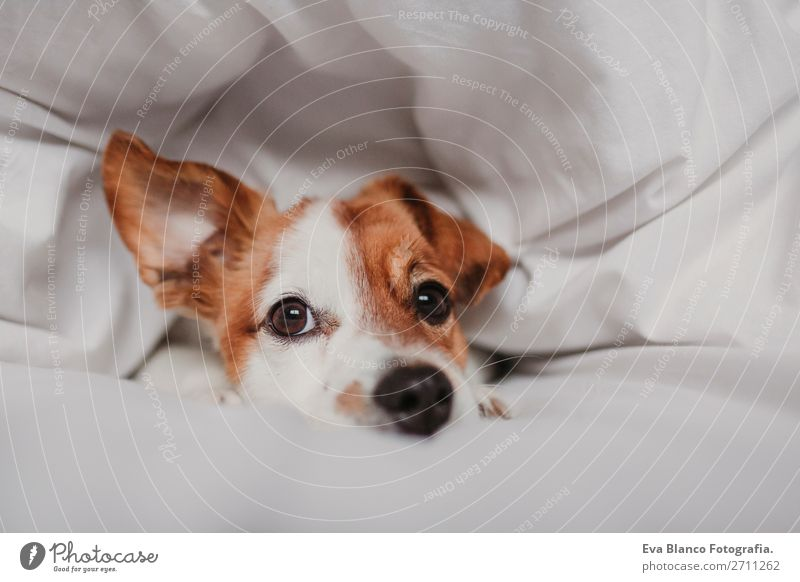 cute dog lying on bed Happy Illness Life Relaxation Winter House (Residential Structure) Bedroom Family & Relations Animal Autumn Weather Warmth Pet Dog