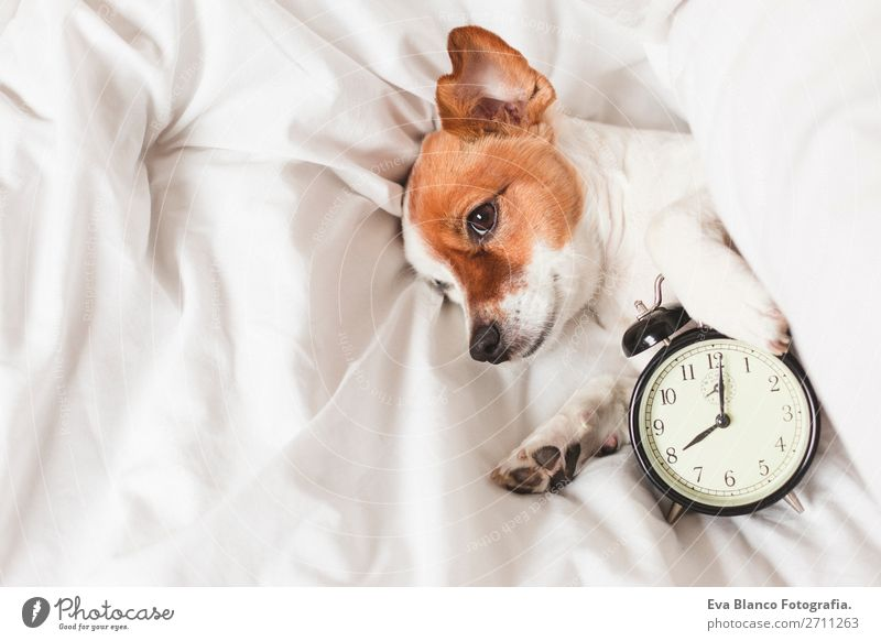cute dog lying on bed with an alarm clock Happy Life Relaxation Winter House (Residential Structure) Clock Bedroom Work and employment Family & Relations Animal