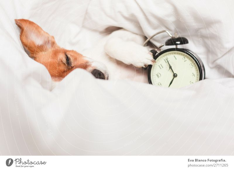 cute dog lying on bed with an alarm clock Dog White House (Residential Structure) Relaxation Animal Winter Lifestyle Autumn Warmth Funny Family & Relations