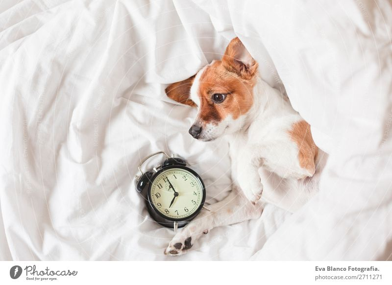 cute dog lying on bed with an alarm clock Dog White House (Residential Structure) Relaxation Animal Winter Life Autumn Warmth Funny Family & Relations Happy
