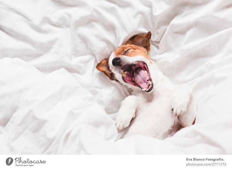 dog on bed with white sheets yawning Dog White House (Residential Structure) Relaxation Animal Winter Life Autumn Warmth Love Funny Family & Relations Happy