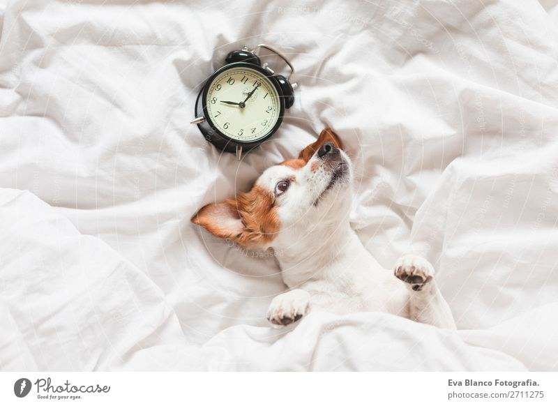 dog on bed with white sheets and alarm clock Dog White House (Residential Structure) Relaxation Animal Winter Life Autumn Warmth Funny Family & Relations Happy