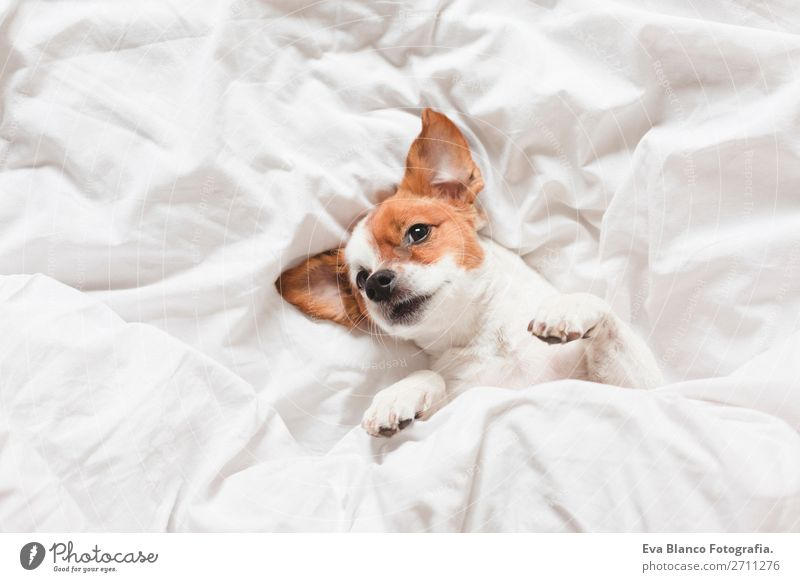 cute dog sleeping on bed, white sheets.morning Happy Illness Life Relaxation Winter House (Residential Structure) Bedroom Family & Relations Animal Autumn