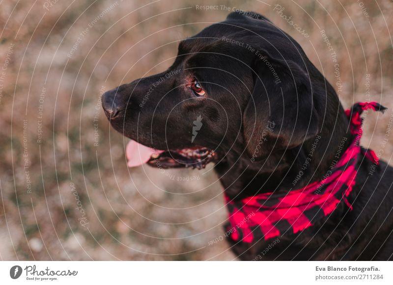 beautiful portrait black labrador dog at sunset Nature Dog Beautiful Landscape Red Animal Joy Black Lifestyle Autumn Natural Happy Small Fashion Brown
