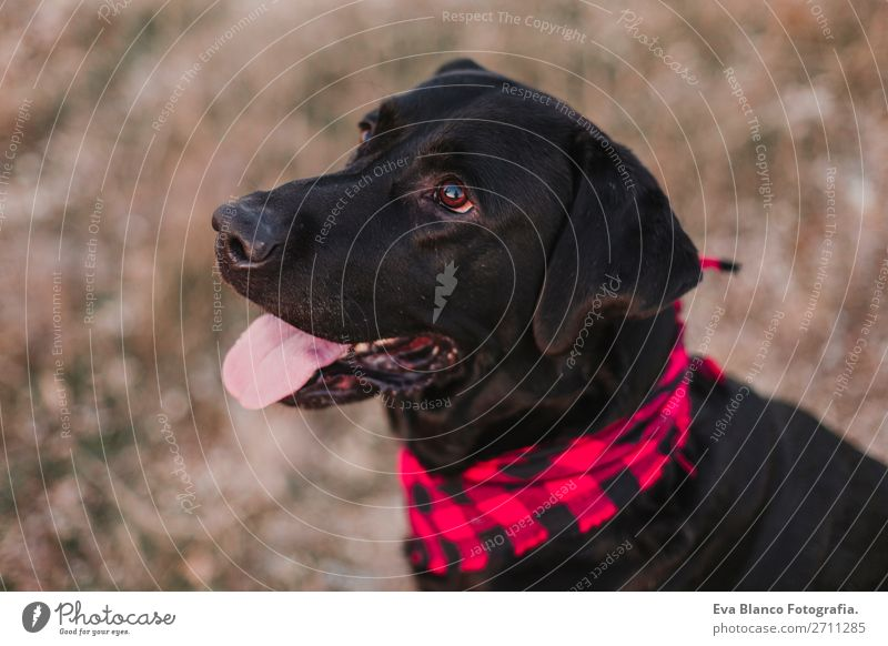 beautiful portrait black labrador dog at sunset Nature Dog Beautiful Landscape Red Animal Joy Black Lifestyle Autumn Natural Happy Small Fashion Brown