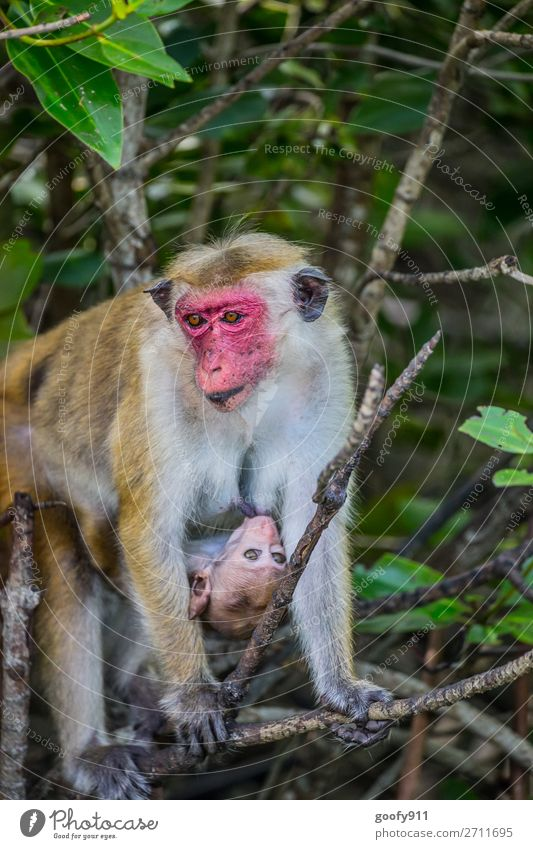 Macaque mother with baby Vacation & Travel Tourism Trip Adventure Far-off places Freedom Safari Expedition Environment Nature Tree Bushes Forest Virgin forest