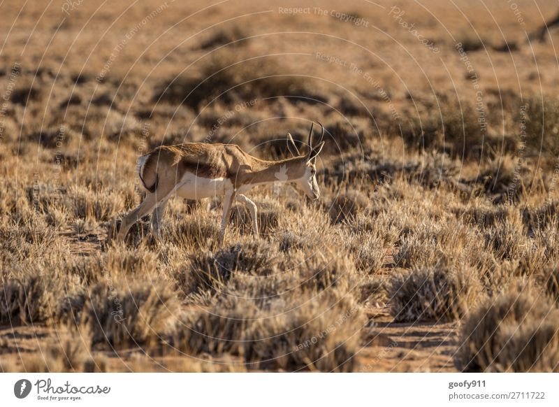 springbok Vacation & Travel Tourism Trip Adventure Far-off places Freedom Safari Expedition Environment Nature Landscape Warmth Drought Bushes Desert