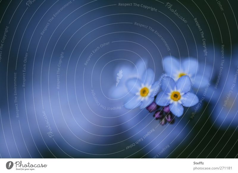 Remember? - Forget-me-not Spring flower romantic Blue Decent dark blue Romance April Blue flower May Near Blossom blue flowers wild flowers light blue blossom