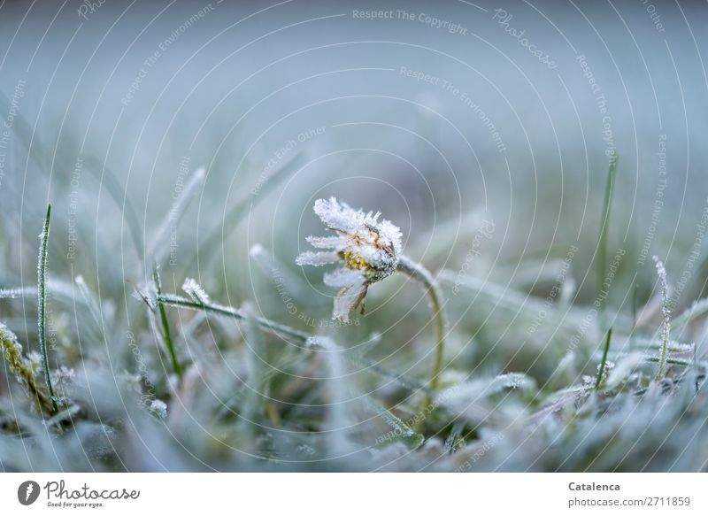 Cold caught Nature Plant Elements Winter Ice Frost Flower Grass Moss Leaf Blossom Daisy Garden Park Blossoming Beautiful Yellow Gray Green Silver White Moody