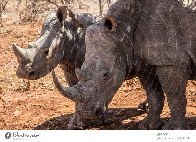 Rhino nut with child II Vacation & Travel Tourism Trip Adventure Far-off places Freedom Safari Expedition Environment Nature Landscape Warmth Drought Desert