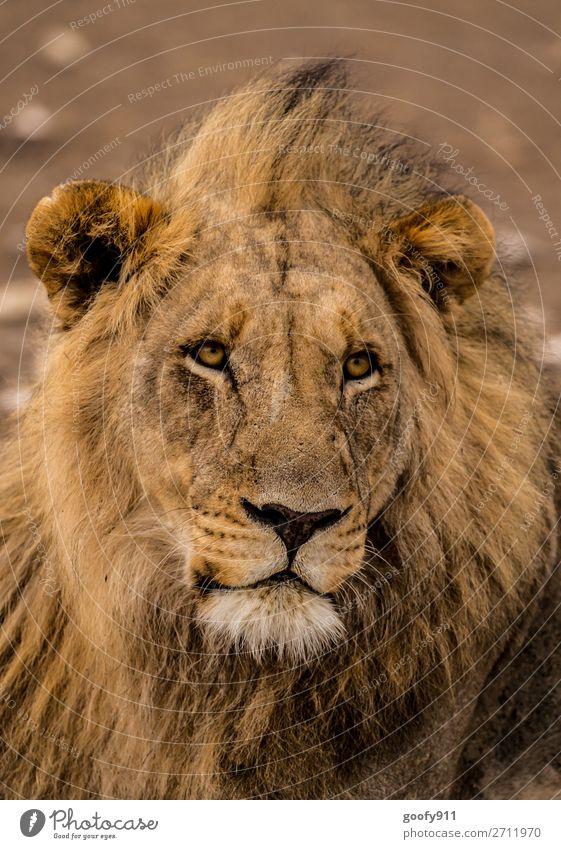 Yes, please??? Vacation & Travel Tourism Trip Adventure Freedom Safari Expedition Animal Wild animal Animal face Pelt Lion Lion's mane Lion's head 1 Observe