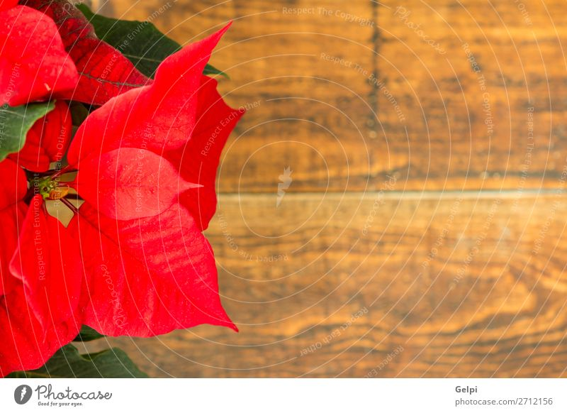 Beautiful red poinsettia Nature Christmas & Advent Plant Colour Green White Red Flower Leaf Winter Wood Blossom Feasts & Celebrations Garden Copy Space