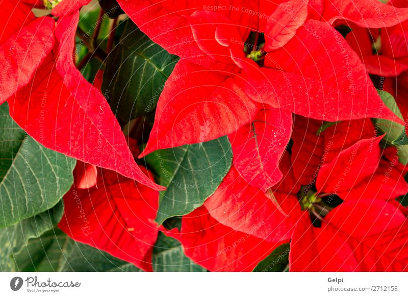 Beautiful red poinsettia Winter Garden Decoration Feasts & Celebrations Christmas & Advent Nature Plant Flower Leaf Blossom Wood Ornament Bright Green Red White