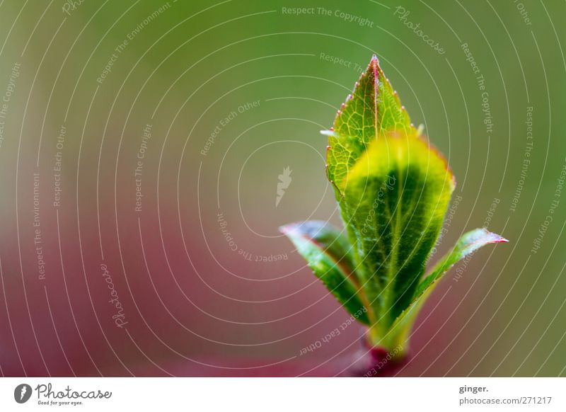 upstart Environment Nature Plant Spring Bushes Leaf Green Leaf bud Point Aspire Vertical Right Rachis Delicate Light green Colour photo Multicoloured