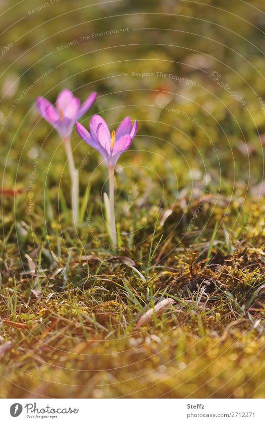 Crocuses in bloom in the spring sunshine flowering crocuses blooming spring flowers spring awakening Spring Crocuses Spring flowering plant March April
