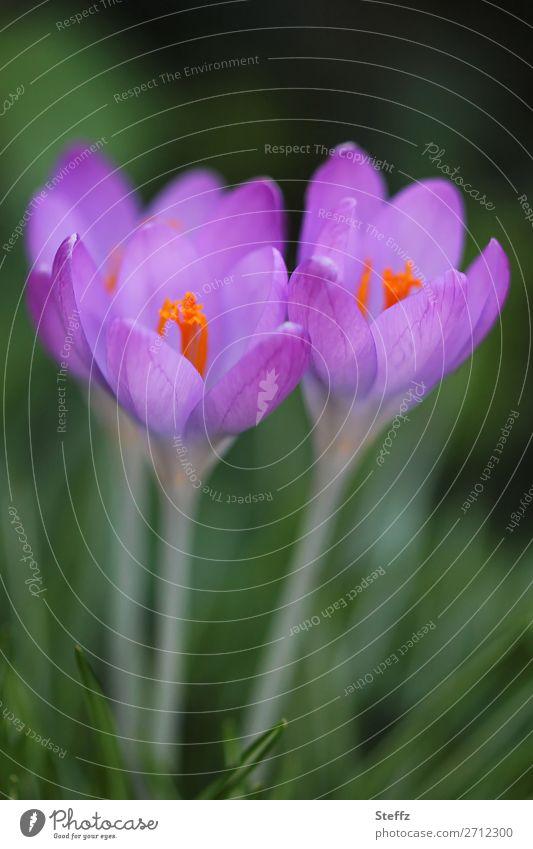 Soon crocuses bloom Crocus flowering crocuses Domestic Nordic spring awakening Spring Crocuses blooming spring flowers native wildflowers Spring flowering plant