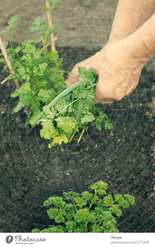 Peter and Sily Food Herbs and spices Parsley Feminine Grandmother Arm Hand 1 Human being Plant Foliage plant Agricultural crop Brown Green Pick Garden