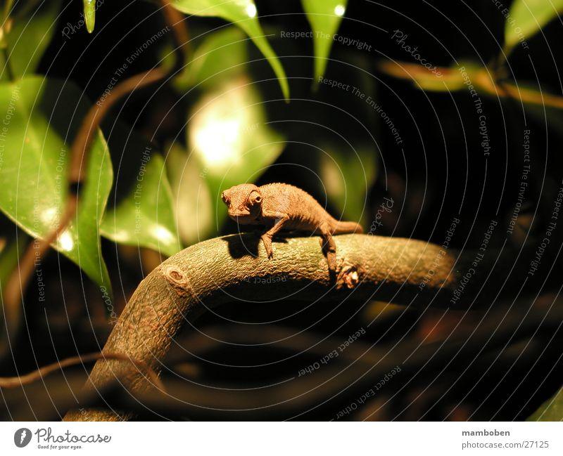 Chamaeleo ellioti Reptiles Animal Wild animal chamaeleon chameleo Nature