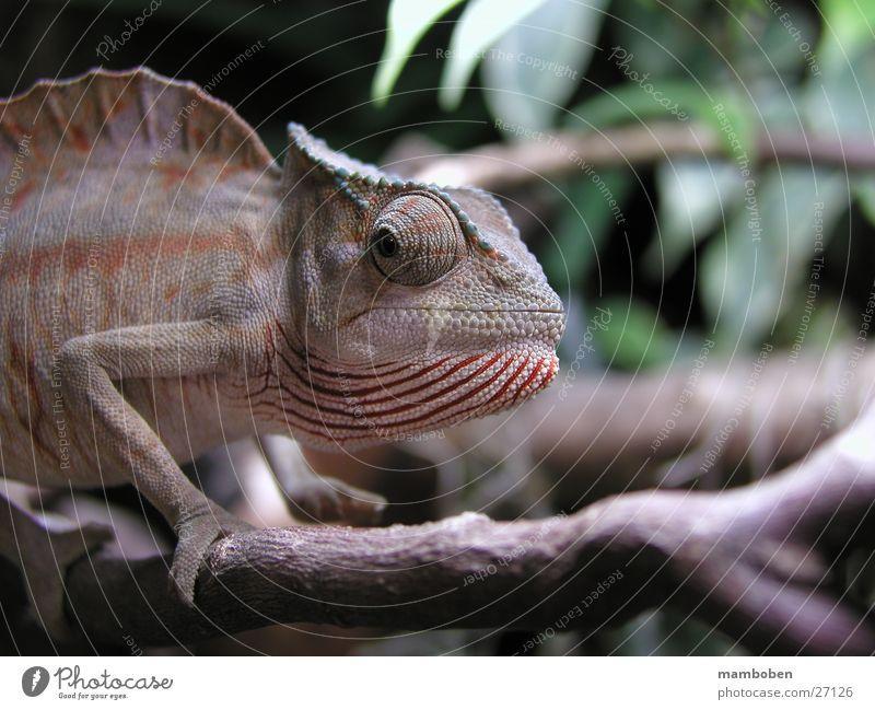 Chamaeleo cristatus Reptiles Animal Wild animal chamaeleon chameleo Nature