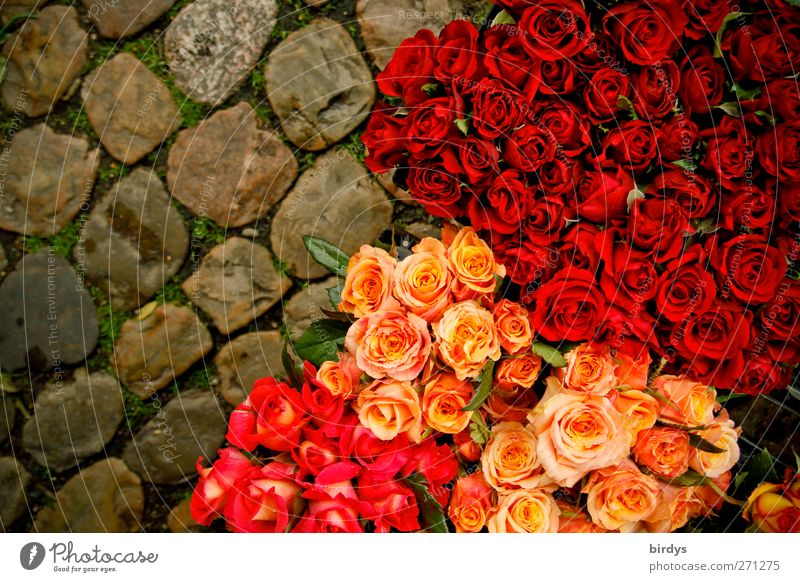Rosl, Resi and Annerose Rose Cobblestones Blossoming Illuminate Fragrance Fresh Beautiful Yellow Pink Red Market stall Florist Bouquet Many Versatile