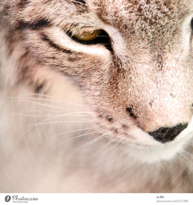 Luchsuriös :) Animal Wild animal Animal face Mammal Land-based carnivore Cat Lynx 1 Cuddly Brown Colour photo Exterior shot Close-up Day Deep depth of field