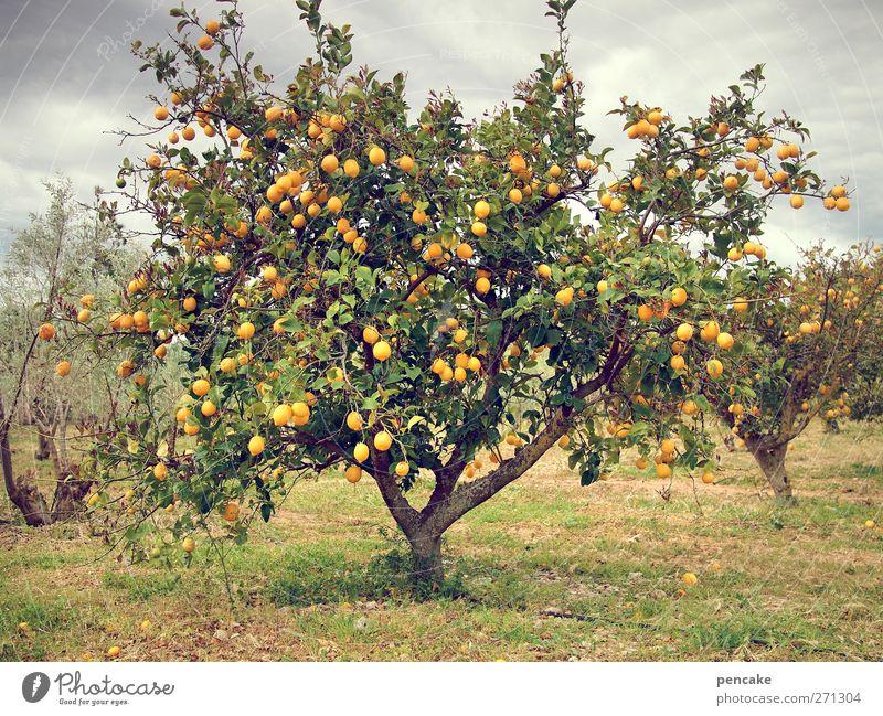 Nature Tree Spring Orange Many Exotic Thirst Majorca Plantation Orange tree