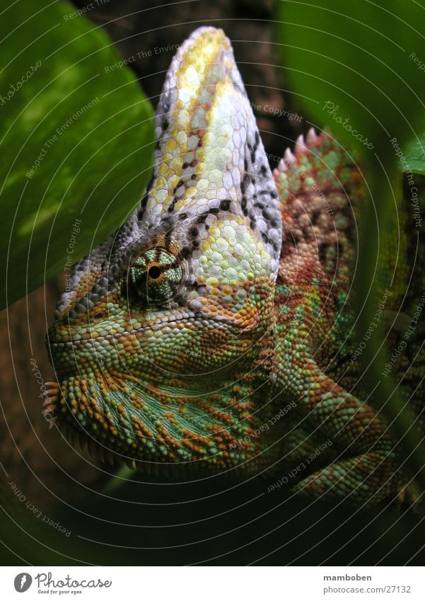 Nature Animal Virgin forest Saurians Africa Chameleon Yemen