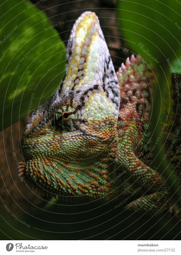 Nature Animal Virgin forest Saurians Africa Chameleon Yemen