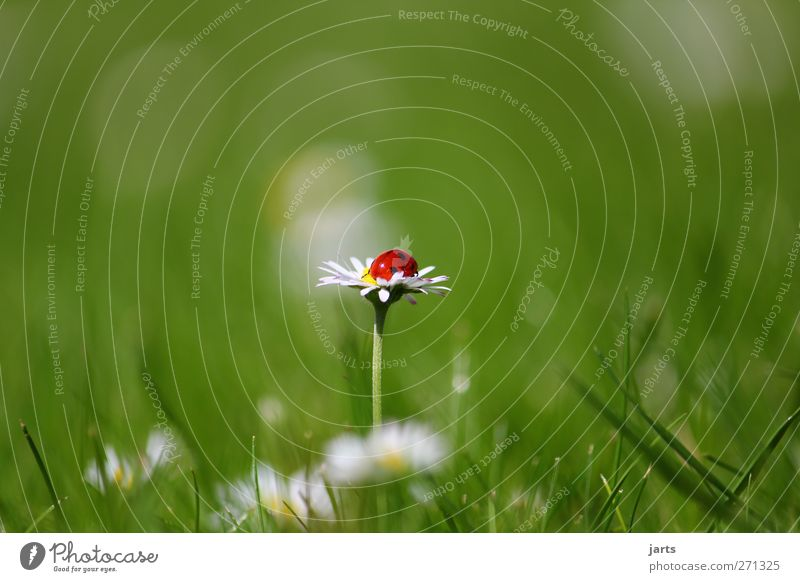right in the middle Nature Plant Animal Summer Beautiful weather Flower Grass Wild animal Beetle 1 Relaxation Sleep Natural Serene Calm Ladybird Daisy