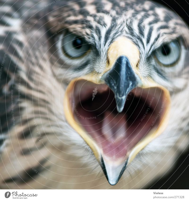 Animal Bird Threat Aggression Determination Bird of prey Face to face Falcon Gaze
