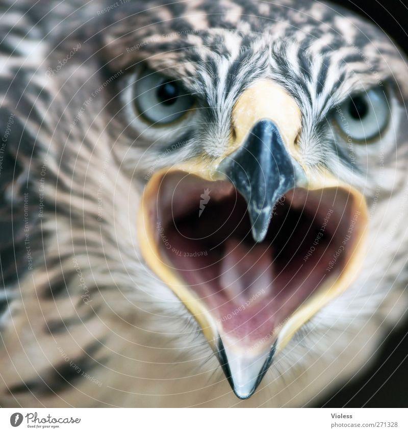 big mouth.... Animal Bird 1 Aggression Threat Determination Bird of prey gryphon Face to face Gaze Falcon Colour photo Looking