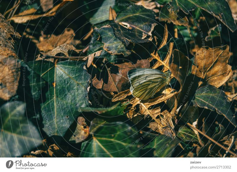 A butterfly among fallen leaves in an autumn forest Beautiful Body Life Nature Plant Animal Autumn Leaf Forest Butterfly Cute Brown Green Colour fauna