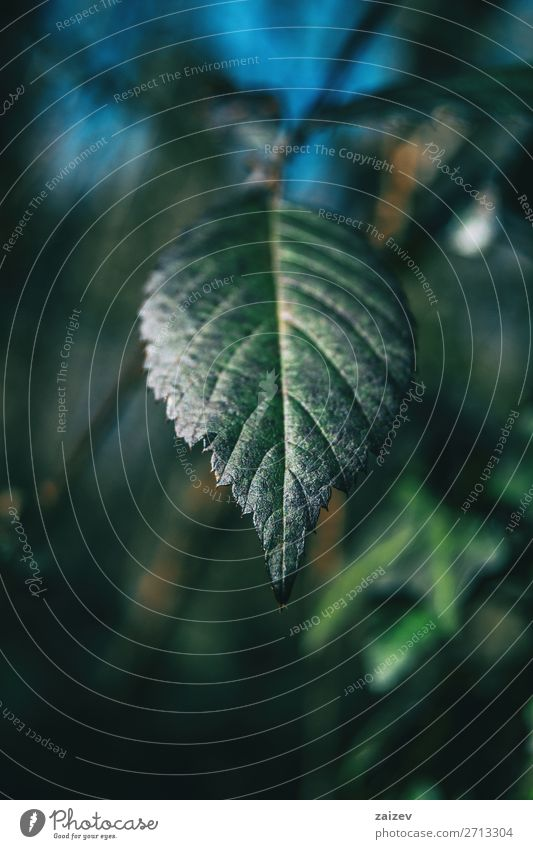 Close-up of a leaf of rubus ulmifolius with an unfocused background Beautiful Life Meditation Environment Nature Plant Bushes Leaf Forest Growth Fresh Natural