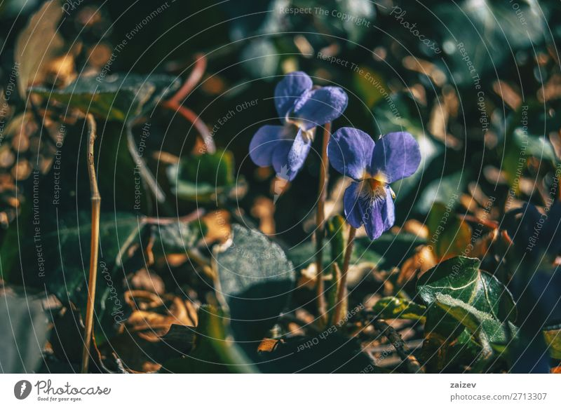 Close-up of a pair of viola alba purple flowers Nature Plant Beautiful Green Flower Forest Autumn Natural Couple Growth Elegant Ground Beauty Photography