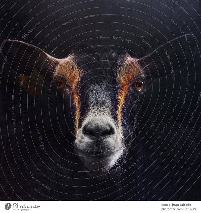 elegant black goat portrait in the nature Nature Animal Black Meadow Wild Elegant Cute Farm Beauty Photography Wallpaper Rural Goats