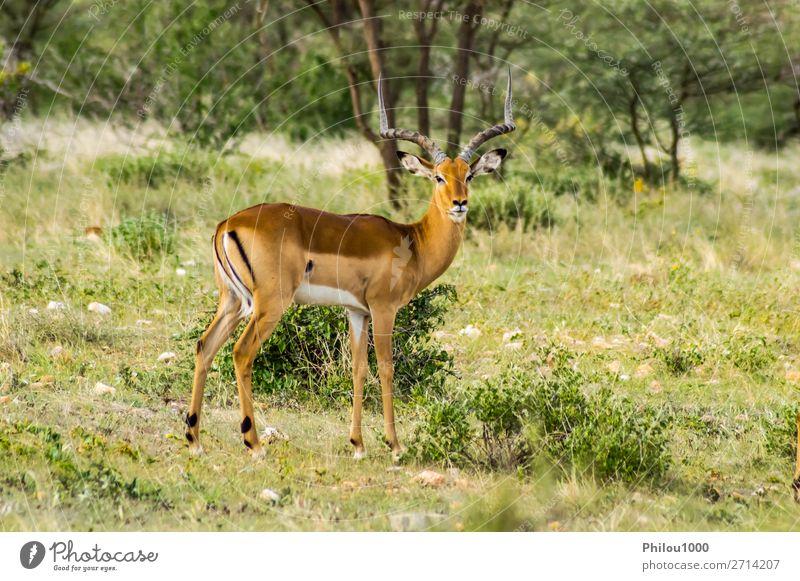 Male Impala with curious look Beautiful Vacation & Travel Safari Man Adults Nature Animal Park Natural Wild Green Samburu aepyceros Africa african Antelope