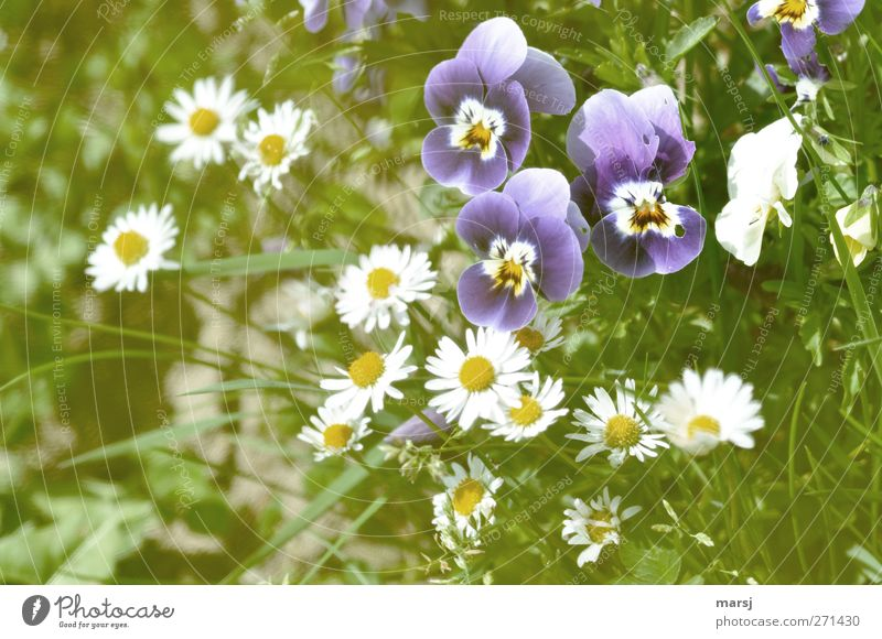 the three Nature Plant Spring Summer Flower Grass Blossom Foliage plant Agricultural crop Violet Pansy blosssom Daisy Blossoming Illuminate Fragrance Simple