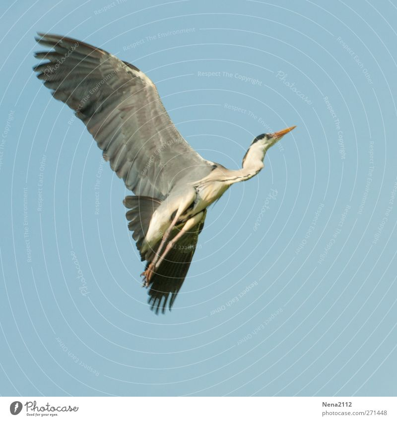 grey heron Animal Wild animal Bird Wing 1 Flying Large Gray Heron Grey heron Departure Freedom Colour photo Exterior shot Deserted Copy Space left