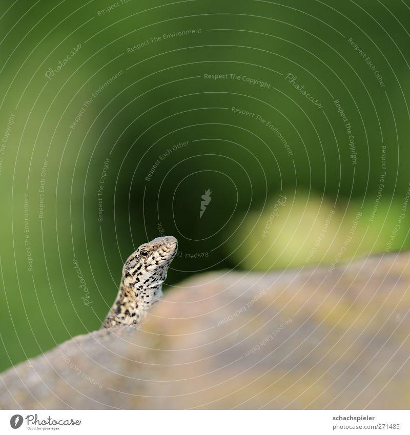 Animal Stone Wild animal Curiosity Watchfulness Reptiles Lizards Wall lizard