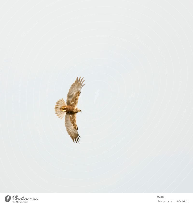 weird Environment Nature Animal Air Wild animal Bird Wing marsh harrier Bird of prey 1 Movement Flying Esthetic Free Natural Freedom Outstretched Wide Feather