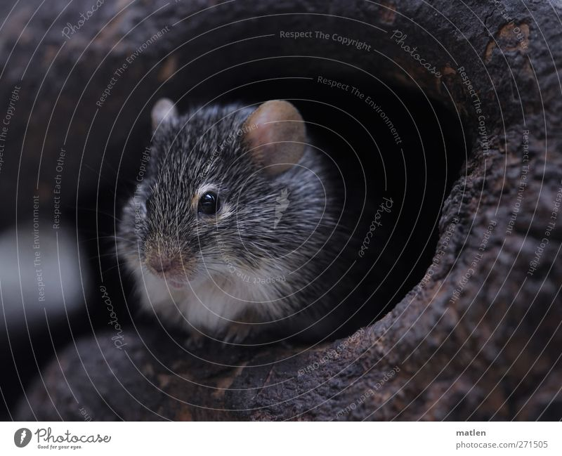 mausoleum Tree Animal Mouse 1 Brown Gray Cave temporise Subdued colour Close-up Day Animal portrait Looking into the camera