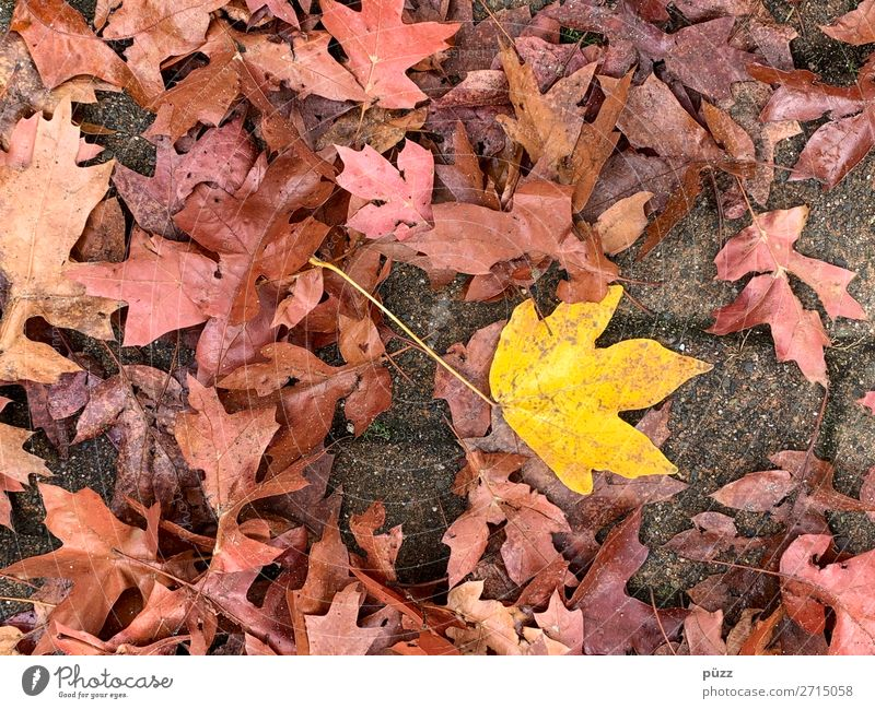 dashes of colour Environment Nature Plant Earth Autumn Tree Leaf Garden Park Brown Yellow Red Autumn leaves Autumnal Autumnal colours Maple tree Maple leaf